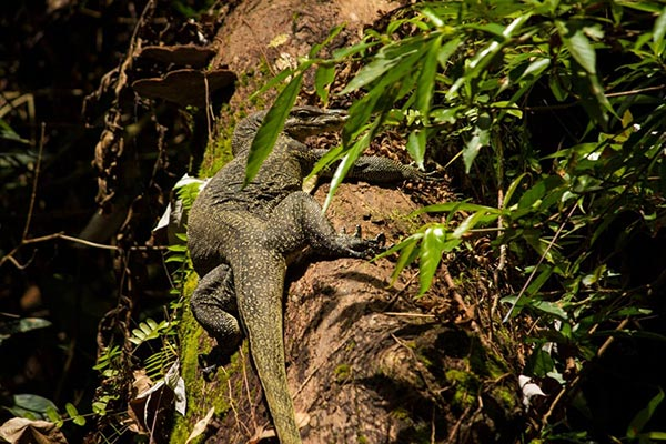 southeast-asian-water-monitor