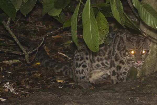 sunda-clouded-leopard