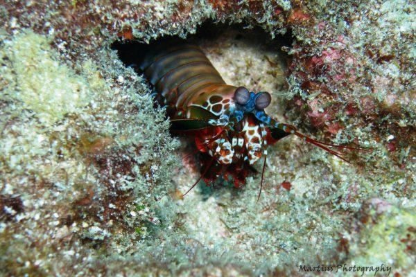 manthis-shrimp