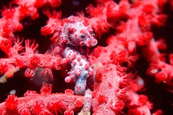 pygmy-seahorse